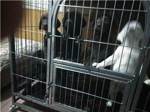 家庭繁殖拉布拉多犬