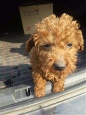 出售泰迪犬两个多月了价格面议电话13730176137