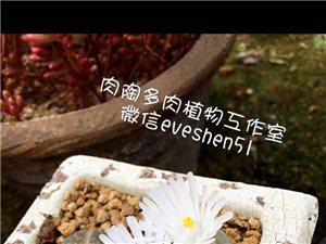 多肉植物-生石花(微信:rou?tao?123)