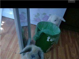 美国纯耳兔一公一母