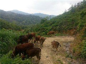 急售山上全放養的牛