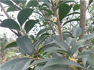 桂花樹(金桂)