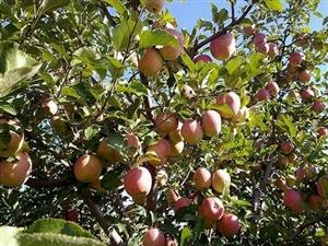 因绿化占地,现地中有一批果树,有需要者去看看