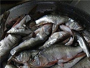 賣野生鯽魚15517601788