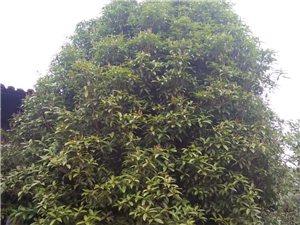桂花樹出售