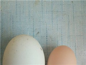 我家的鹅开始下蛋了