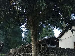 出桂花树,若干颗,直行15到30厘米都有,价格美丽,交通方便。有意联系我,暗号15082823098...