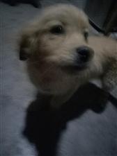拉布拉多幼犬j9455.com