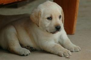纯良拉布拉多幼犬2月