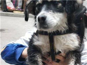 谁家的狗丢了,阿拉斯加,2-3个月大一点,脖子上有铃铛!联系电话18710333073。