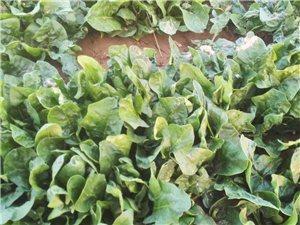 有機菠菜長成了  銷售價格低  打算送人