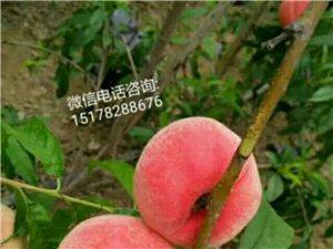 溫室毛桃已大量上市,批發零售