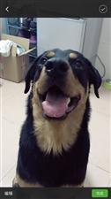家养宠物犬寻找爱心人士领养