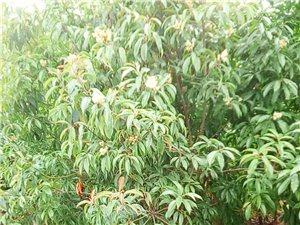 風景樹緊急出售