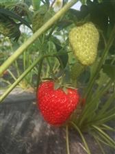 草莓降�r��惠��