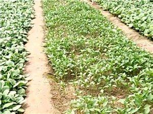 大量出售优质蔬菜秧苗.茄子.蕃茄.辣椒.黄瓜苗