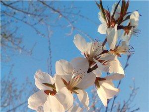 春天的景色实在美,梨花杏花一起开………