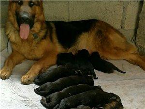 出售德國牧羊犬