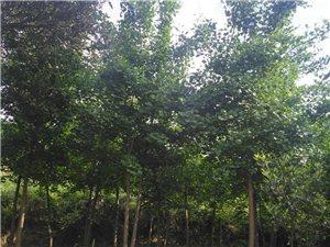 白果樹(銀杏樹)