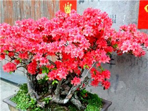 三百年的杜鹃开三干朵的花——网红了