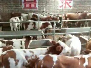 出售4-12月龄的西门塔尔牛,公、母都有,质量好,价格合理,有需要的13803446206(微信同号...