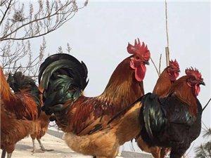 柴山木柴鸡