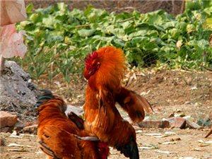醉拳功夫雞,好雞會功夫