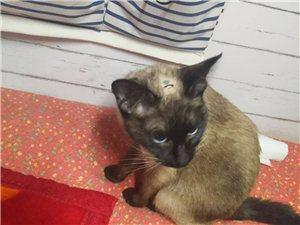 我家咪咪好像發情了,求公暹羅貓一只肅寧的