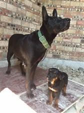 出售成年苏联红犬