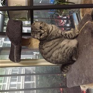 美短渐层品牌宠物猫出售