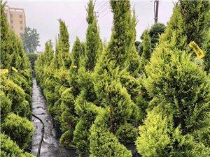 綠化苗木供應