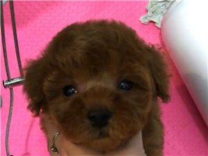 自養2個月泰迪犬