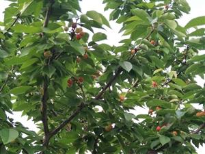 杨大庄生态樱桃园大樱桃生熟了!