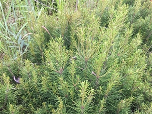 便宜出售白皮松小苗,苗高30-50厘米,凤翔本地苗。