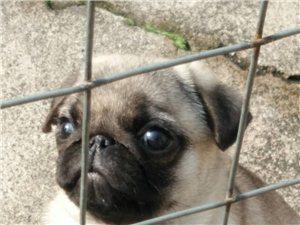 出售家养宠物狗小巴哥公一个