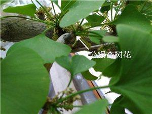 银杏母树花蕾与公树花穗