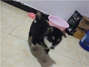 出售二個月大的阿拉斯加幼犬