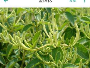 咱美高梅平台县的艾草和金银花
