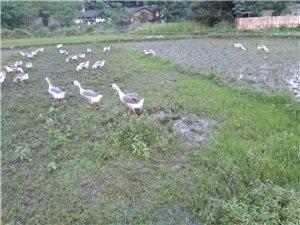 純放養土鵝八斤到九斤左右,保證無公害。縣城可送貨。