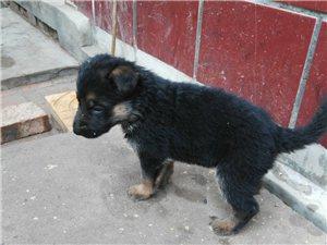 出售纯种德牧幼犬