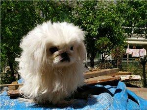纯种京巴狗
