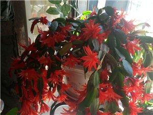 出卖两盆花,一盆是冬青一盆是蟹爪兰,想要看花还不用等几年,有要的联系,电13304825653