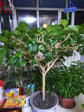 养了好多年的大盆盆栽,适合公共场所摆放,有需要的联系18747025509
