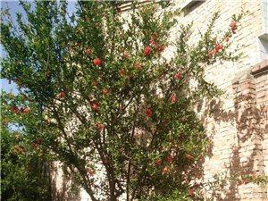 石榴花树出售