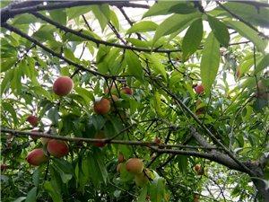 桃子熟了,不打药