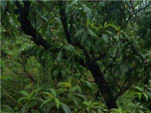 黄家桃园的黄桃成熟啦,需要的赶快预订