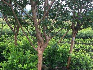 大量供應綠化工程苗木,庭院設計。