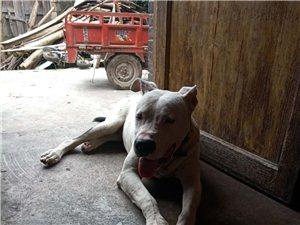 因工作原因,�F��廴�出售,7��月的小杜高犬(公),此犬和善�厝幔���:18375139386