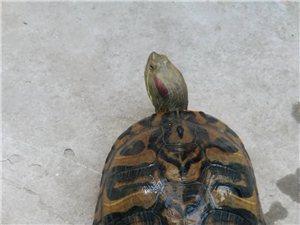 河边捡个大乌龟
