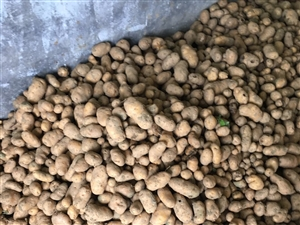本地土豆出售